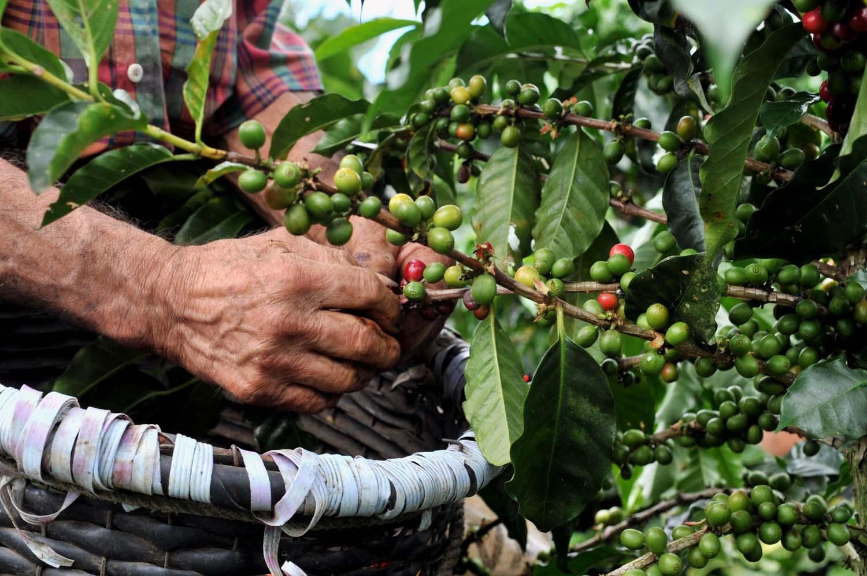 CHIAPAS es el principal productor de café en México