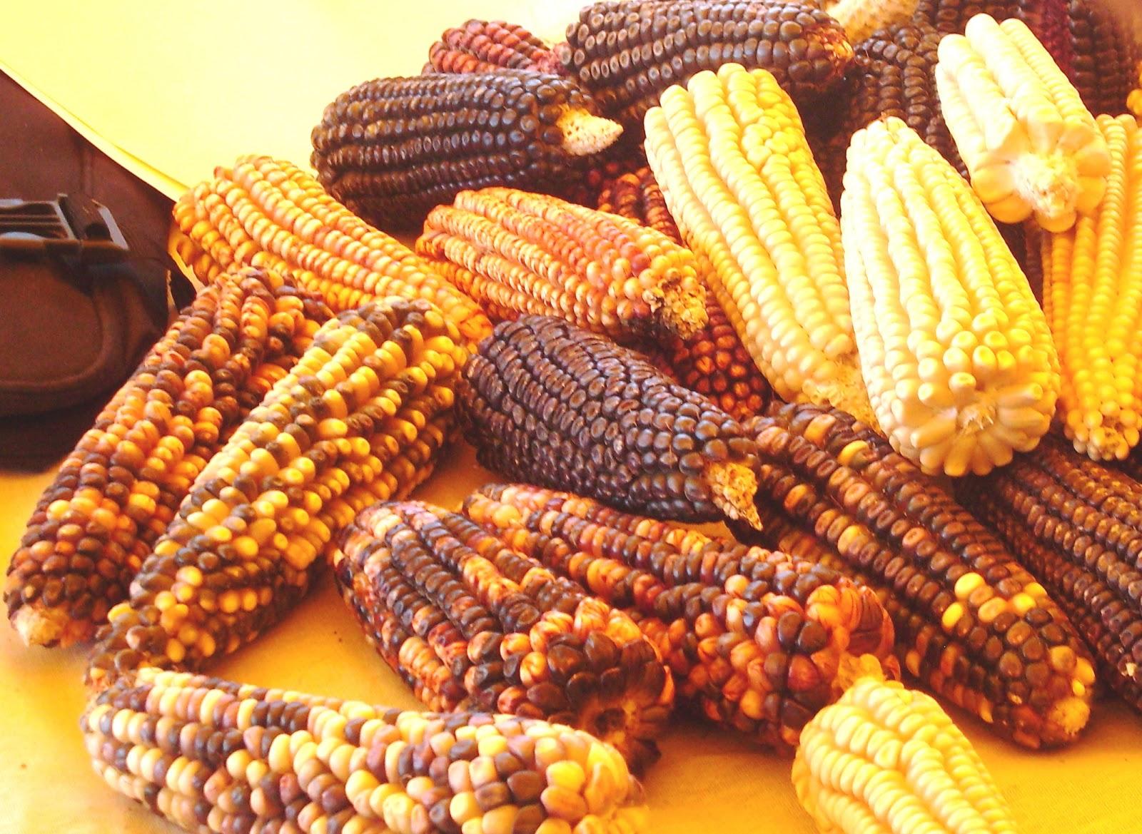 CON AMPLIA gama de variedades de maíz cuenta nuestro país.