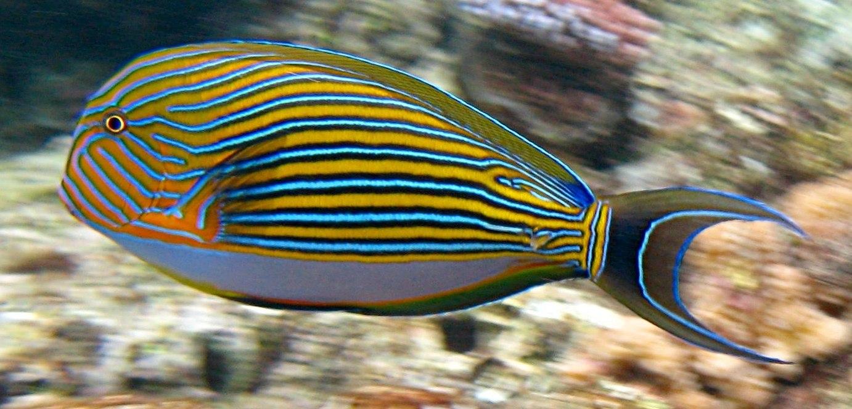 Impulsan la acuacultura de peces ornamentales tierra for Manual de peces ornamentales